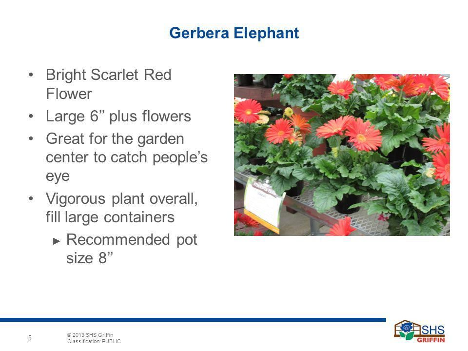 Gerbera Elephant Bright Scarlet Red Flower. Large 6'' plus flowers. Great for the garden center to catch people's eye.