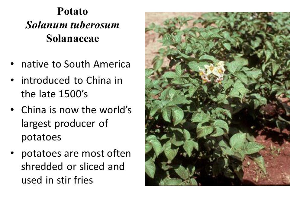Potato Solanum tuberosum Solanaceae