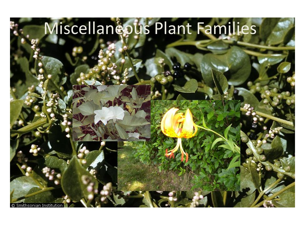 Miscellaneous Plant Families