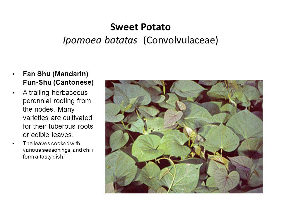Sweet Potato Ipomoea batatas (Convolvulaceae)