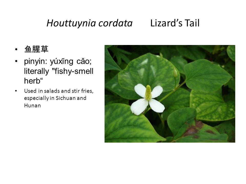 Houttuynia cordata Lizard's Tail