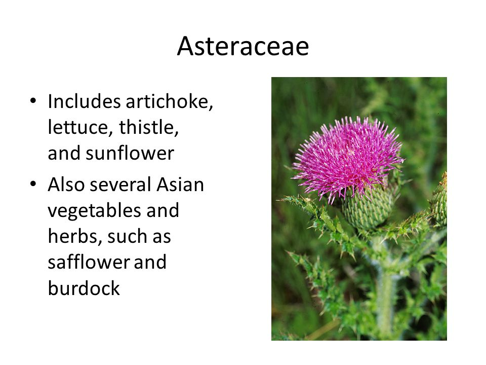 Asteraceae Includes artichoke, lettuce, thistle, and sunflower