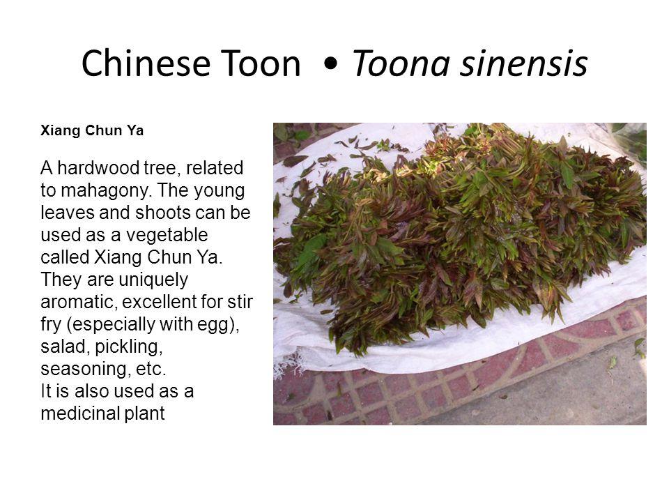 Chinese Toon • Toona sinensis
