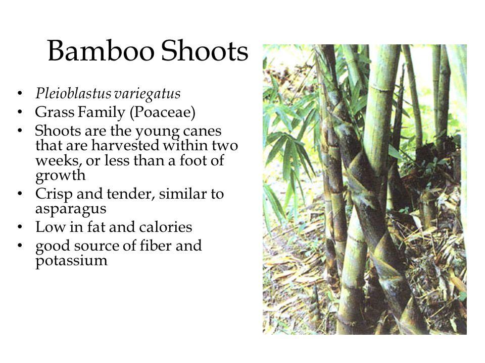 Bamboo Shoots Pleioblastus variegatus Grass Family (Poaceae)