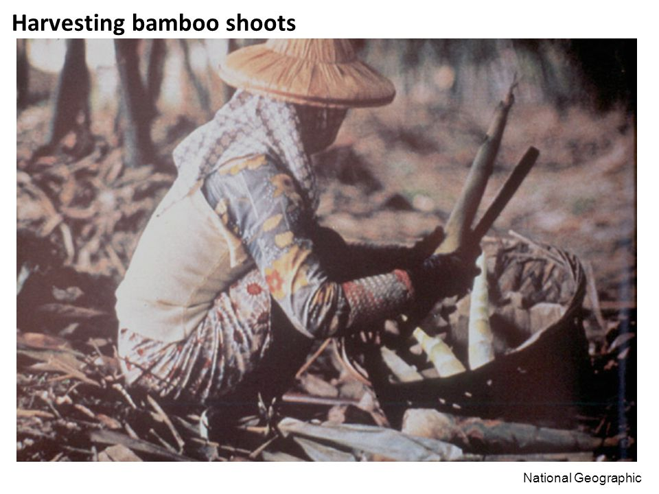 Harvesting bamboo shoots