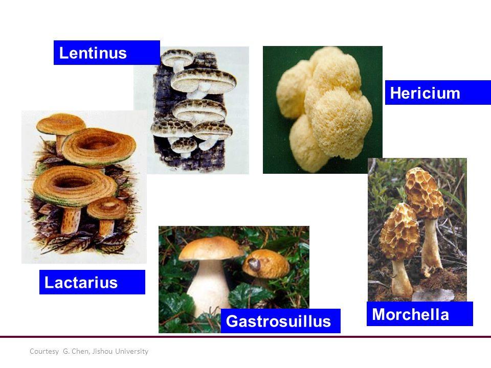 Lentinus Hericium Lactarius Morchella Gastrosuillus