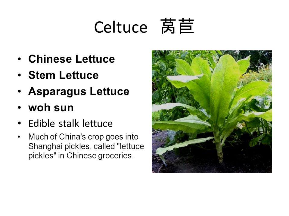 Celtuce 莴苣 Chinese Lettuce Stem Lettuce Asparagus Lettuce woh sun