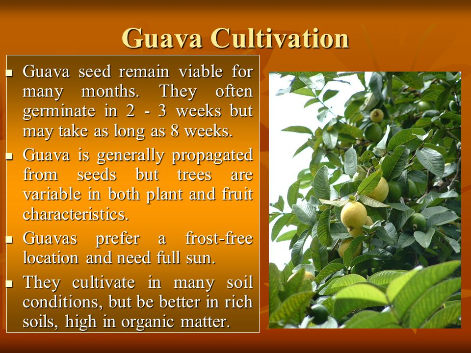 Guava Cultivation Guava seed remain viable for many months. They often germinate in 2 - 3 weeks but may take as long as 8 weeks.