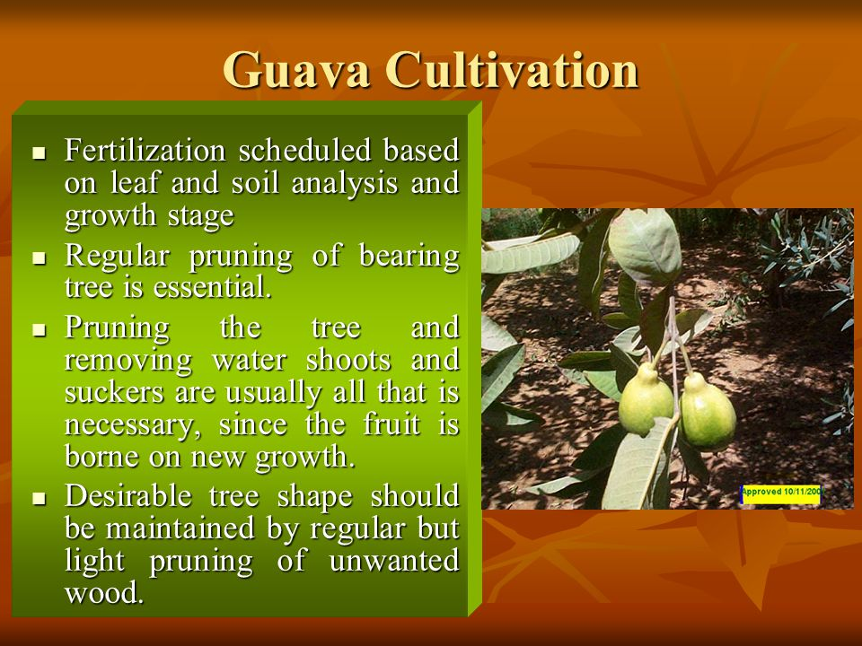 Guava Cultivation Fertilization scheduled based on leaf and soil analysis and growth stage. Regular pruning of bearing tree is essential.