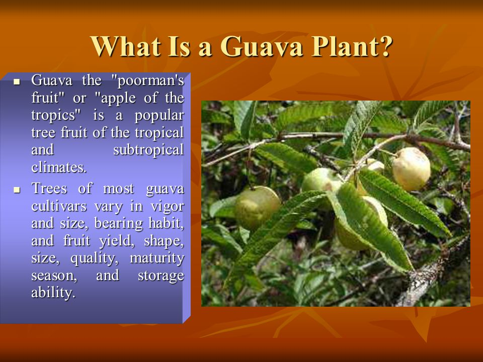 What Is a Guava Plant Guava the poorman s fruit or apple of the tropics is a popular tree fruit of the tropical and subtropical climates.