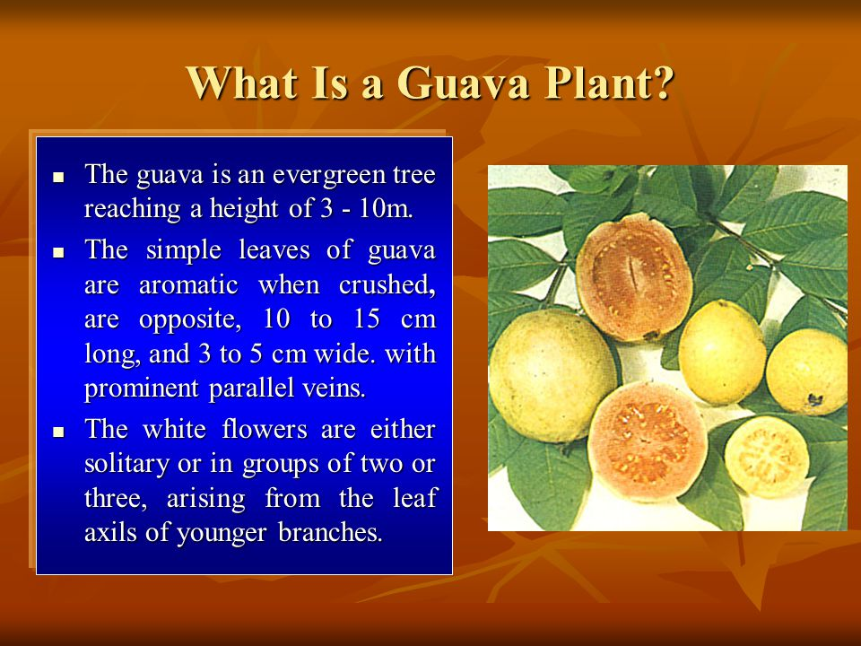 What Is a Guava Plant The guava is an evergreen tree reaching a height of 3 - 10m.