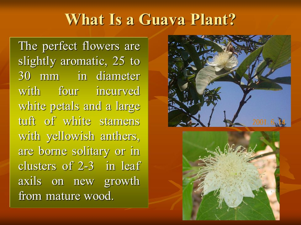 What Is a Guava Plant