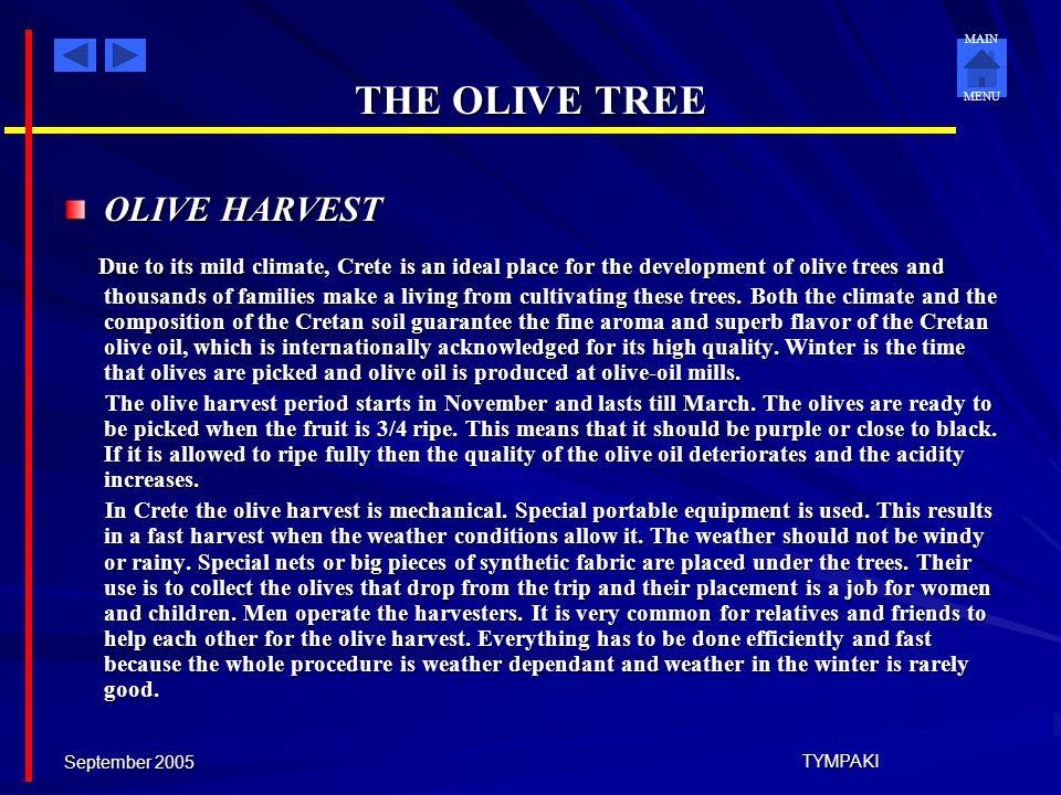 THE OLIVE TREE OLIVE HARVEST.