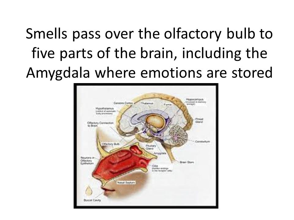 Smells pass over the olfactory bulb to five parts of the brain, including the Amygdala where emotions are stored