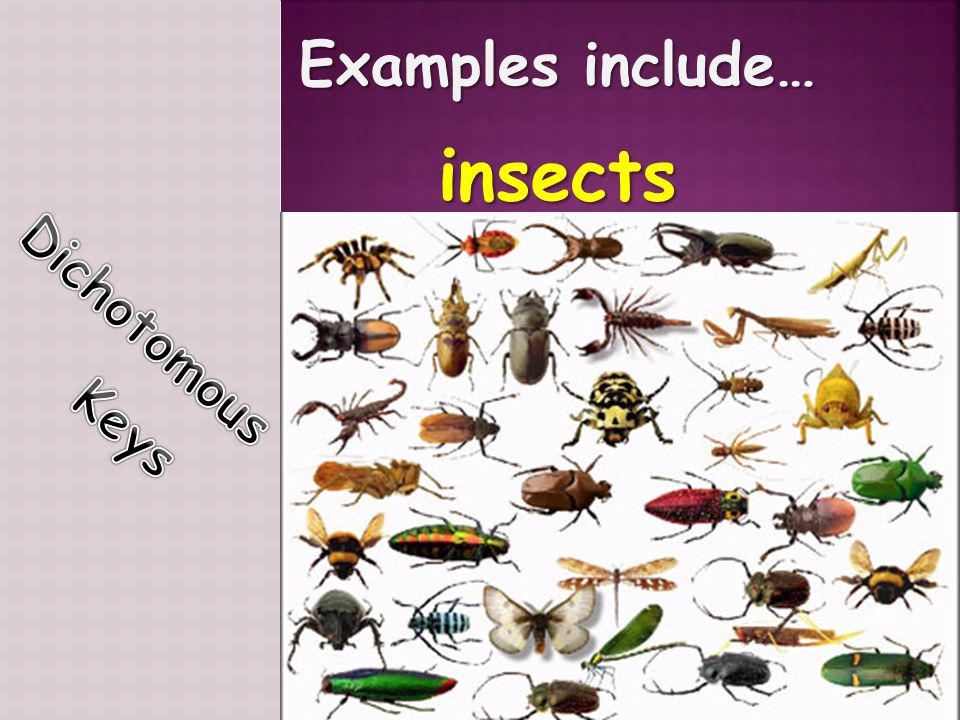 Examples include… insects Dichotomous Keys