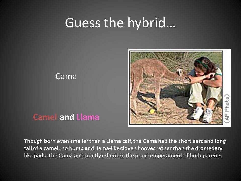Guess the hybrid… Cama Camel and Llama