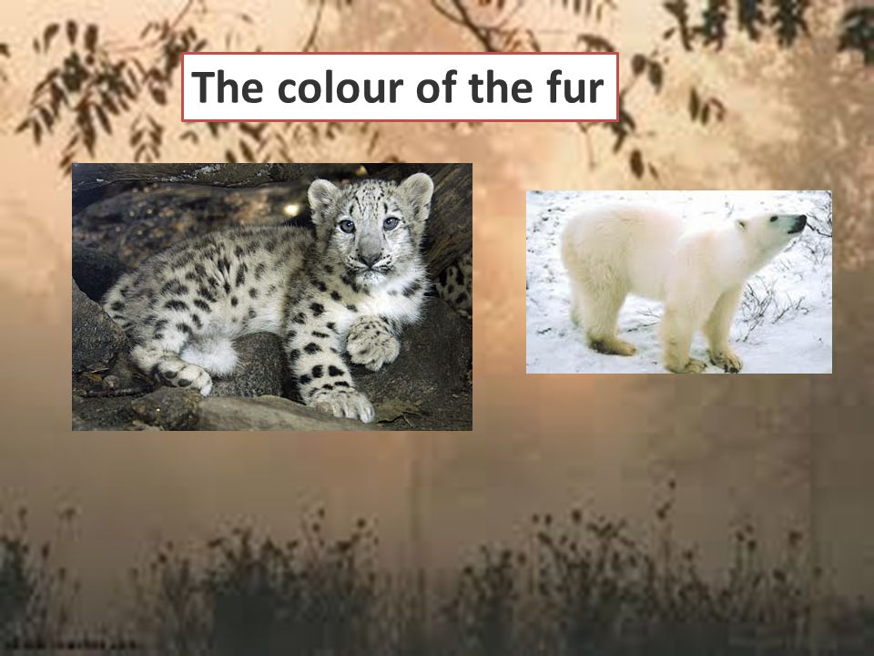 The colour of the fur