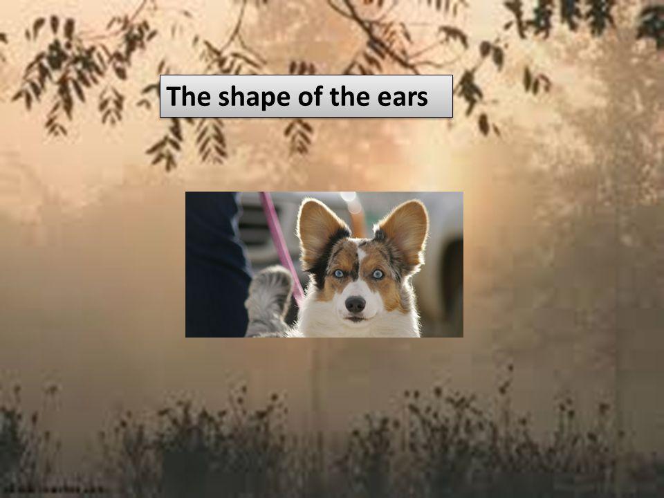 The shape of the ears