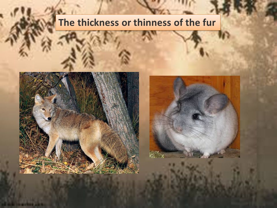 The thickness or thinness of the fur