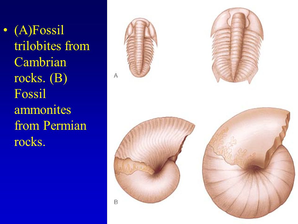 (A)Fossil trilobites from Cambrian rocks