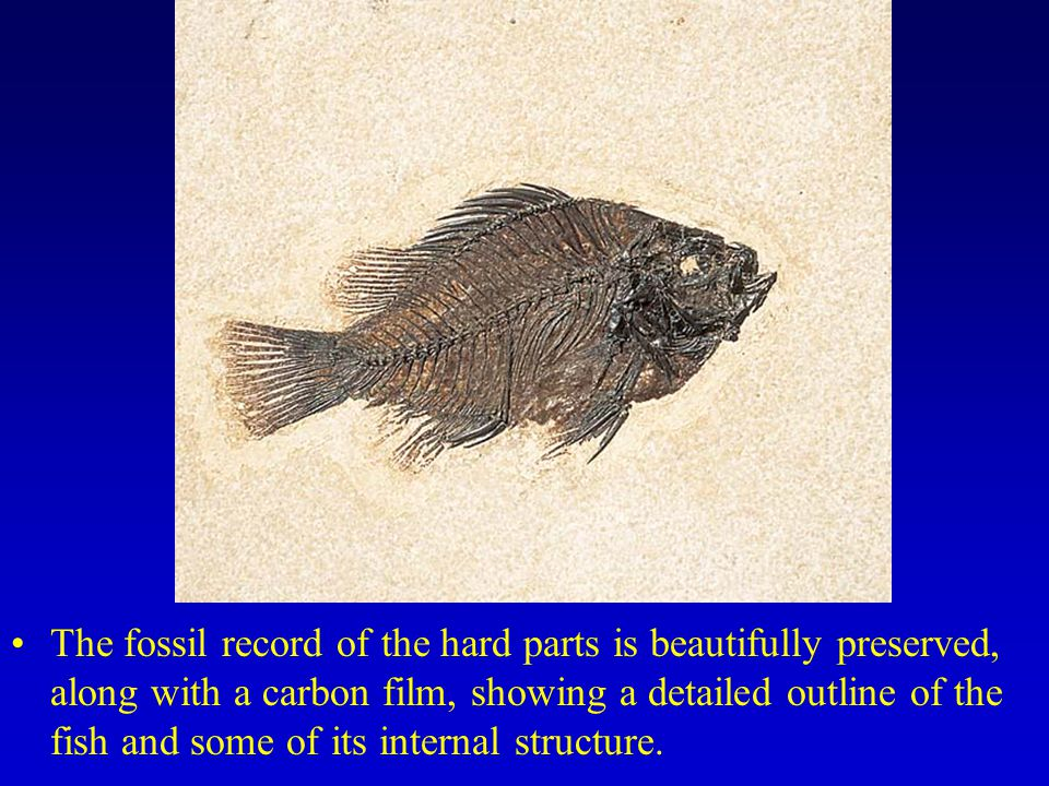 The fossil record of the hard parts is beautifully preserved, along with a carbon film, showing a detailed outline of the fish and some of its internal structure.