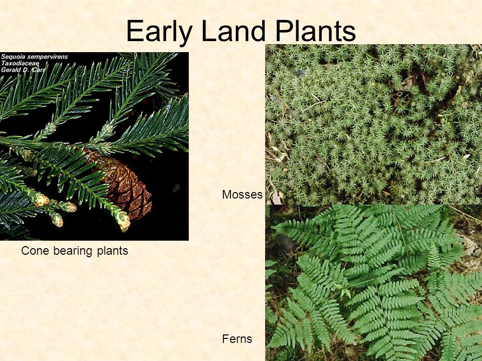 Early Land Plants Mosses Cone bearing plants Ferns