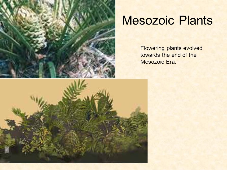Mesozoic Plants Flowering plants evolved towards the end of the Mesozoic Era.