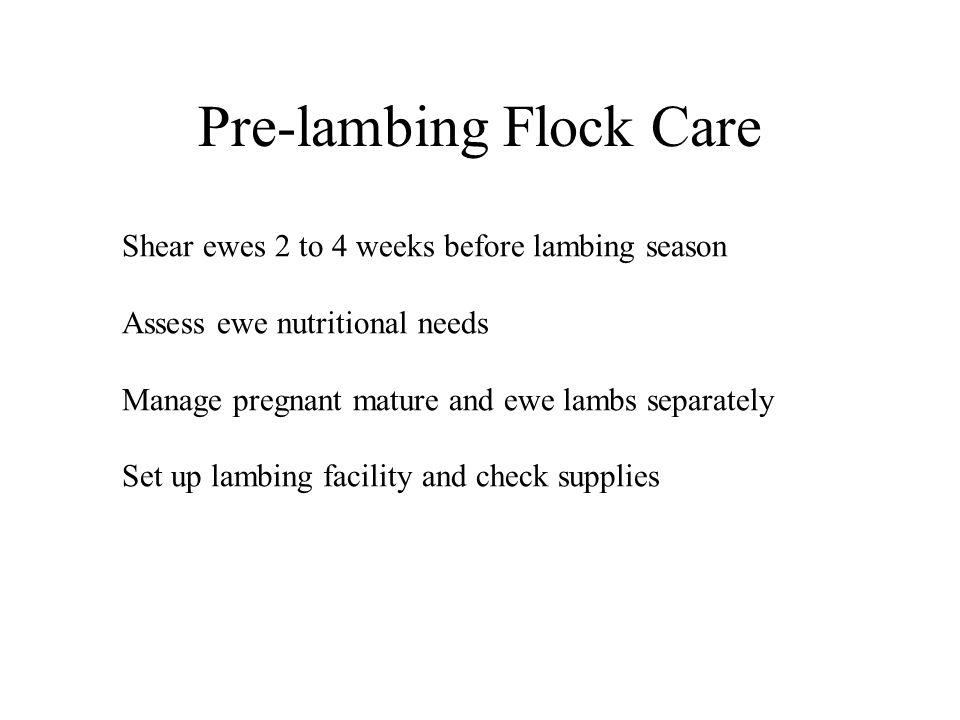 Pre-lambing Flock Care