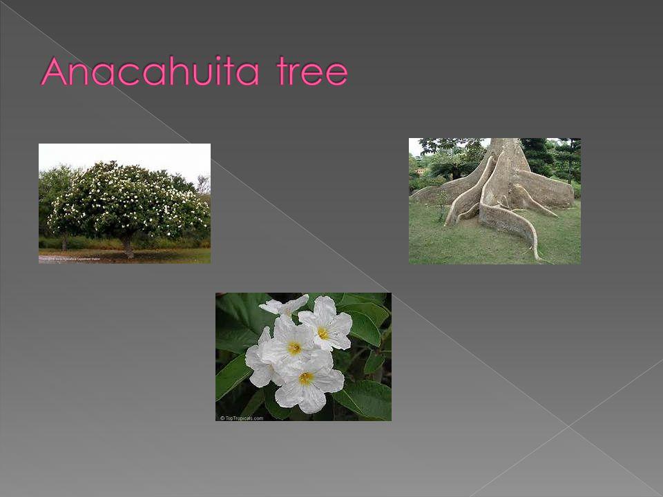 Anacahuita tree