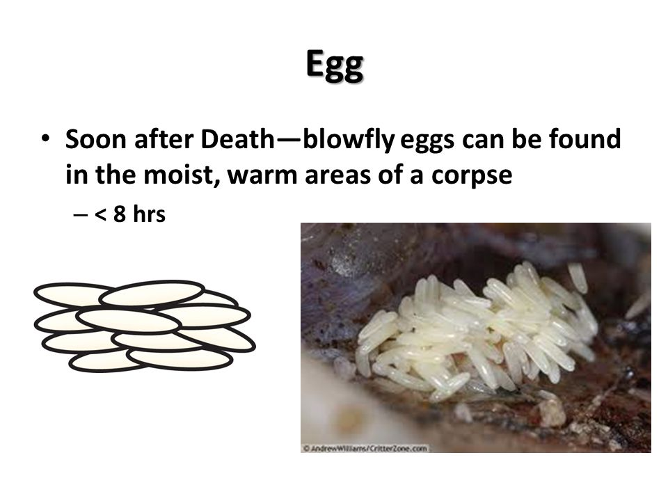 Egg Soon after Death—blowfly eggs can be found in the moist, warm areas of a corpse < 8 hrs