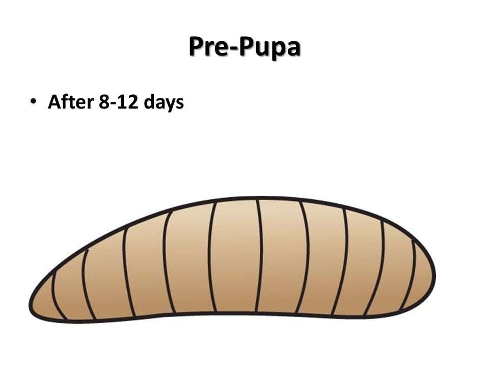 Pre-Pupa After 8-12 days