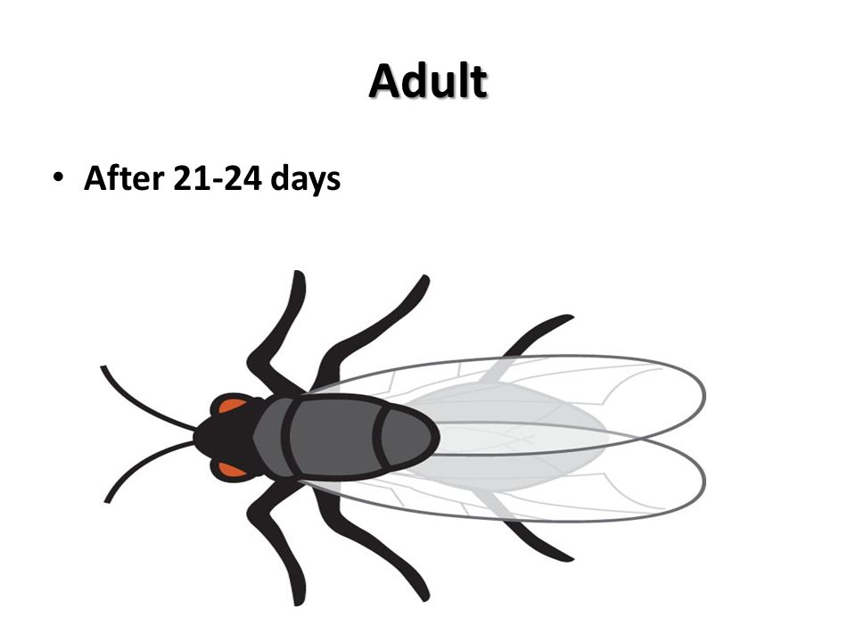 Adult After 21-24 days