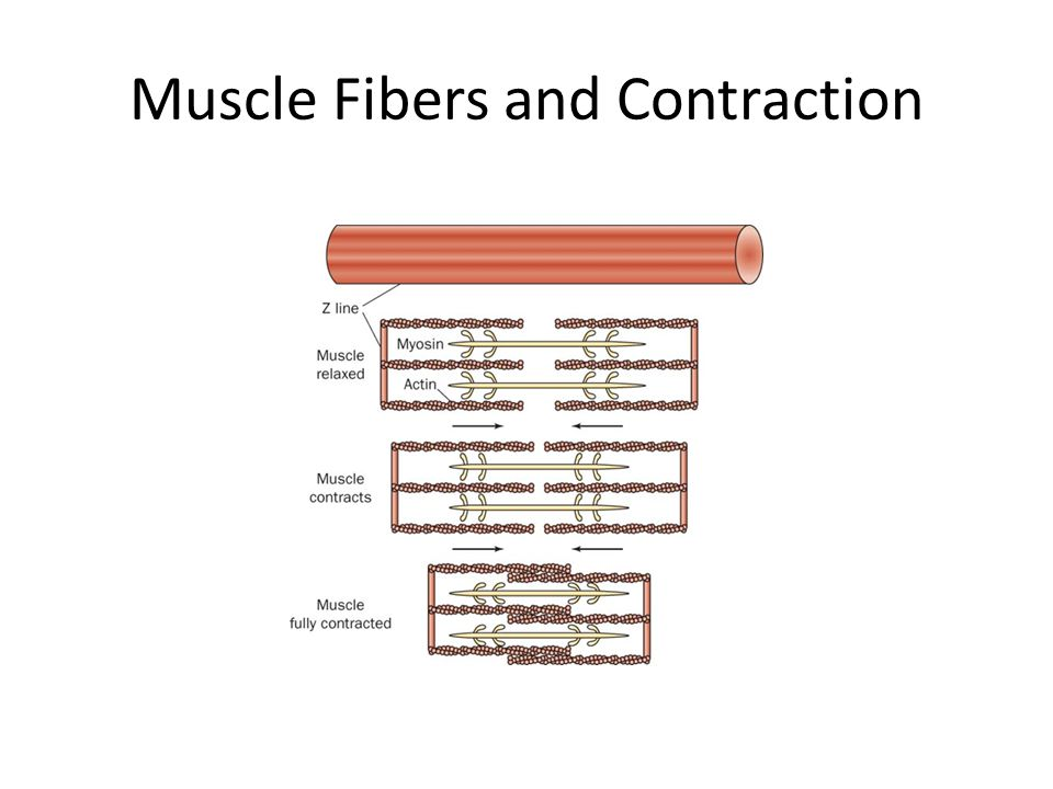 Muscle Fibers and Contraction
