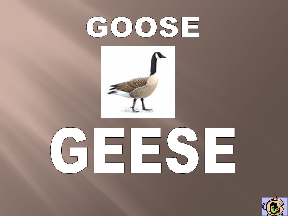 GOOSE GEESE