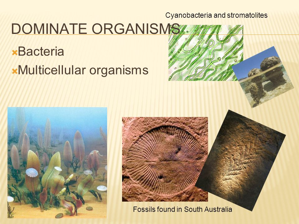 DOMINATE ORGANISMS Bacteria Multicellular organisms