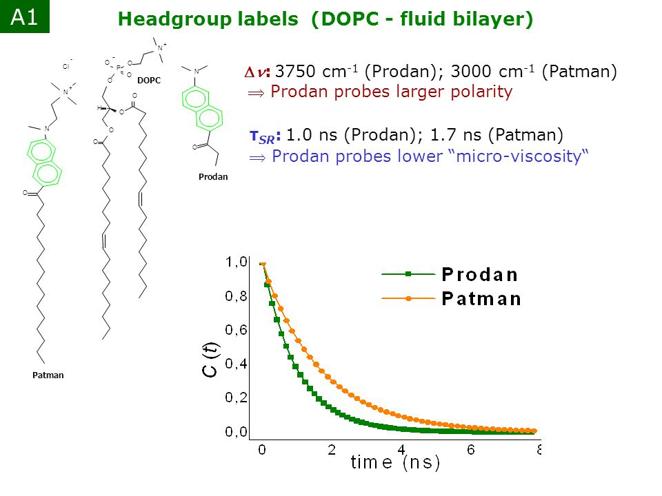 A1 Headgroup labels (DOPC - fluid bilayer)
