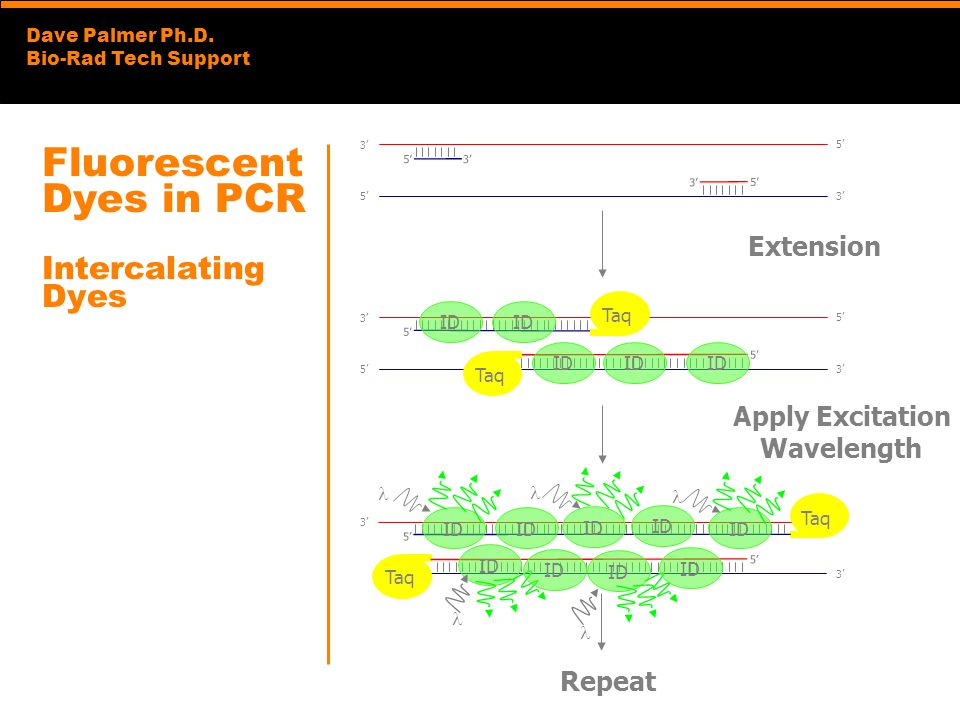 Fluorescent Dyes in PCR Intercalating Dyes
