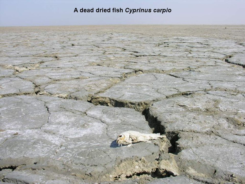 A dead dried fish Cyprinus carpio