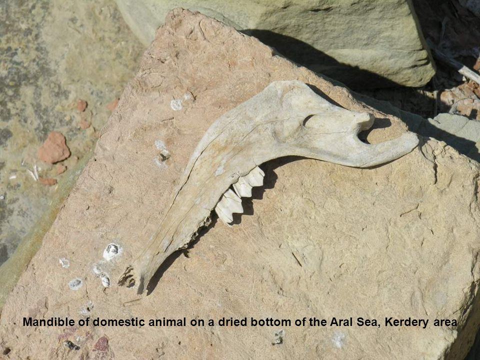 Mandible of domestic animal on a dried bottom of the Aral Sea, Kerdery area