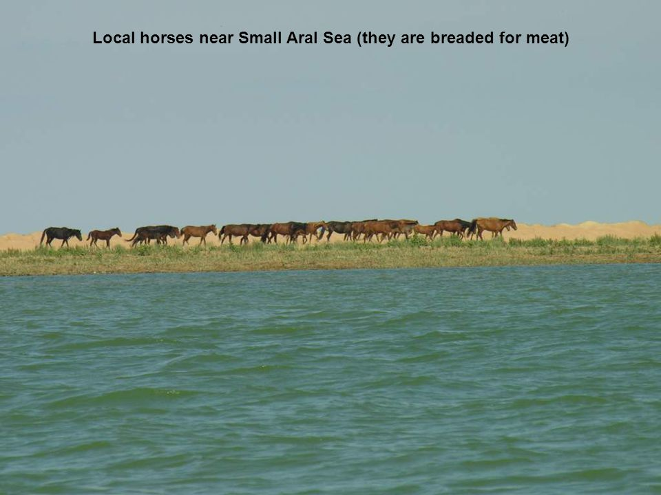 Local horses near Small Aral Sea (they are breaded for meat)