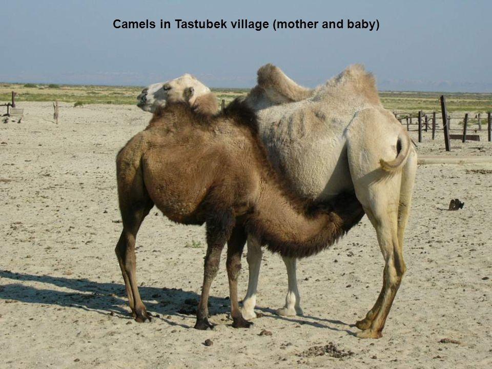 Camels in Tastubek village (mother and baby)