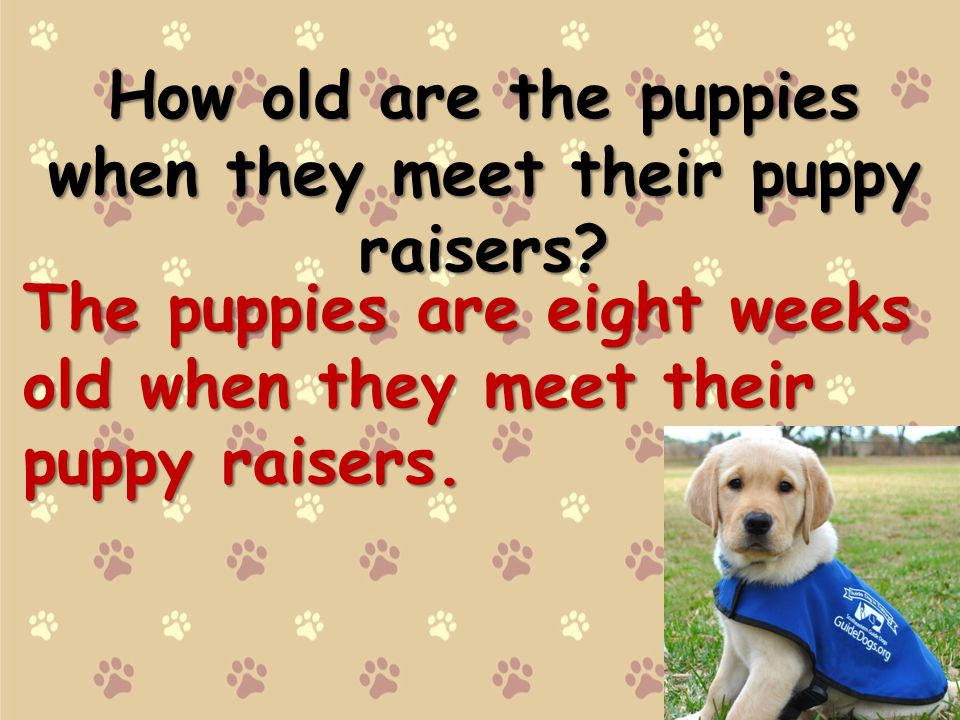 How old are the puppies when they meet their puppy raisers