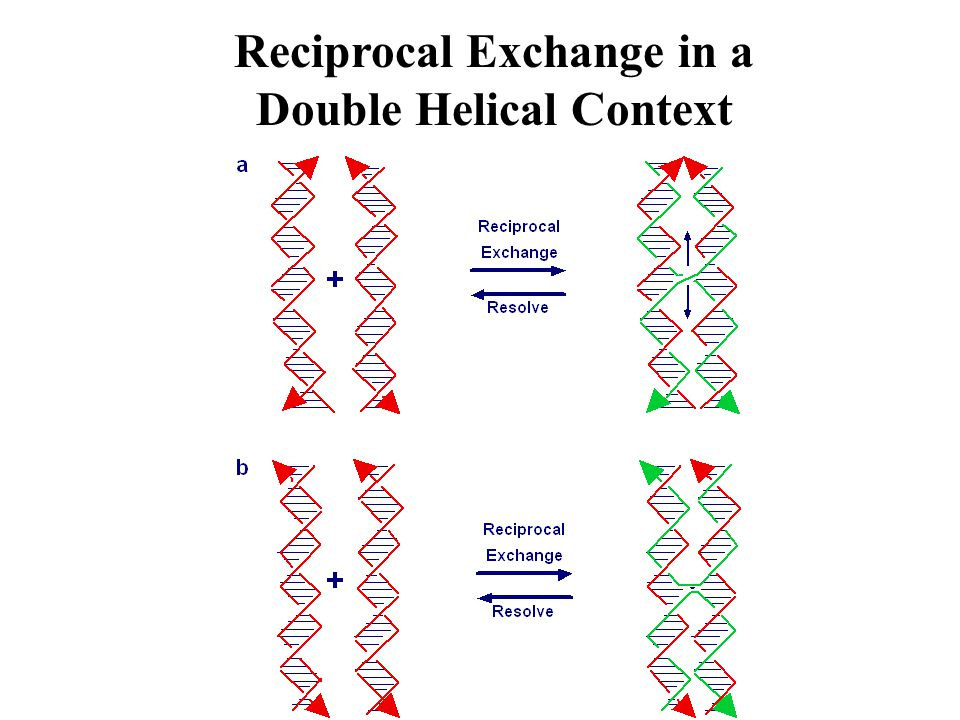 Reciprocal Exchange in a Double Helical Context