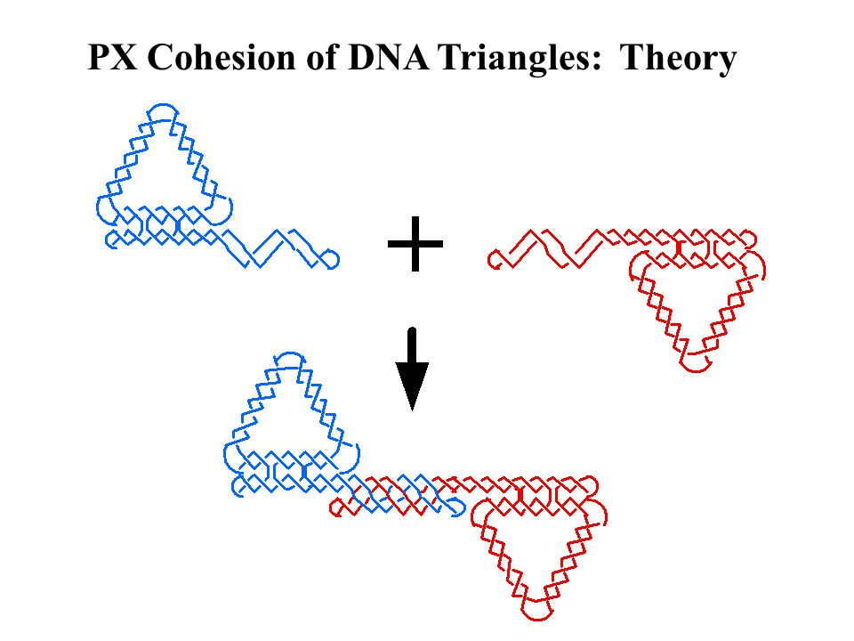 PX Cohesion of DNA Triangles: Theory