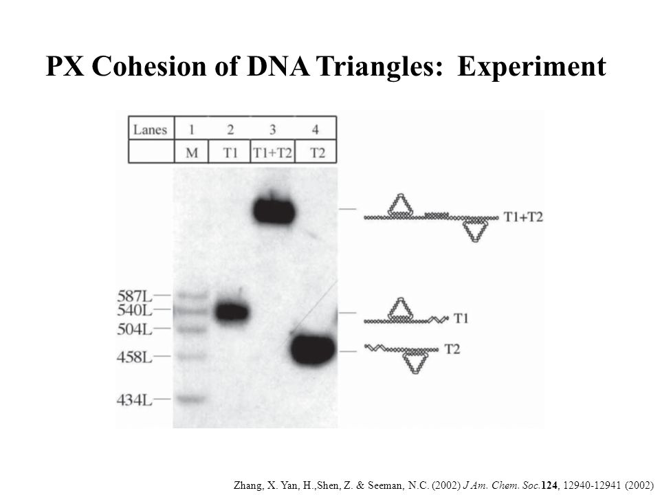 PX Cohesion of DNA Triangles: Experiment