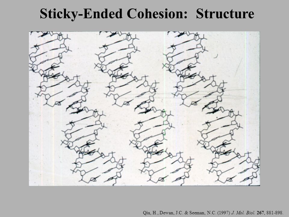 Sticky-Ended Cohesion: Structure