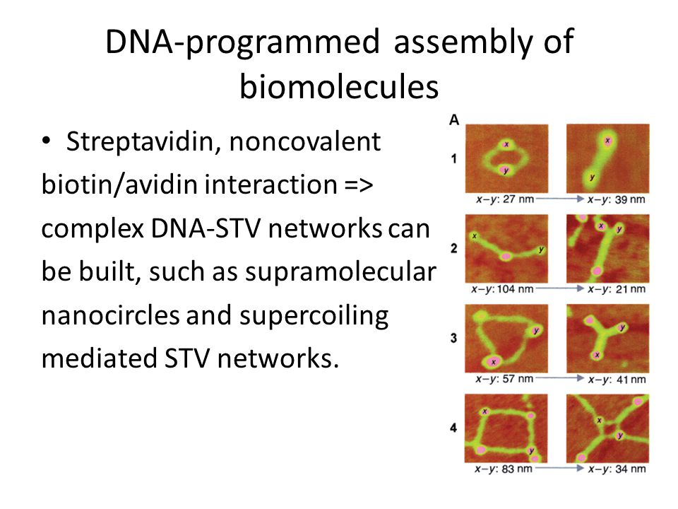 DNA-programmed assembly of biomolecules