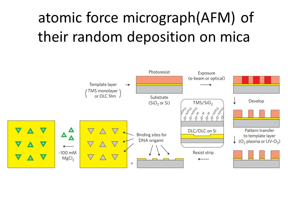 atomic force micrograph(AFM) of their random deposition on mica