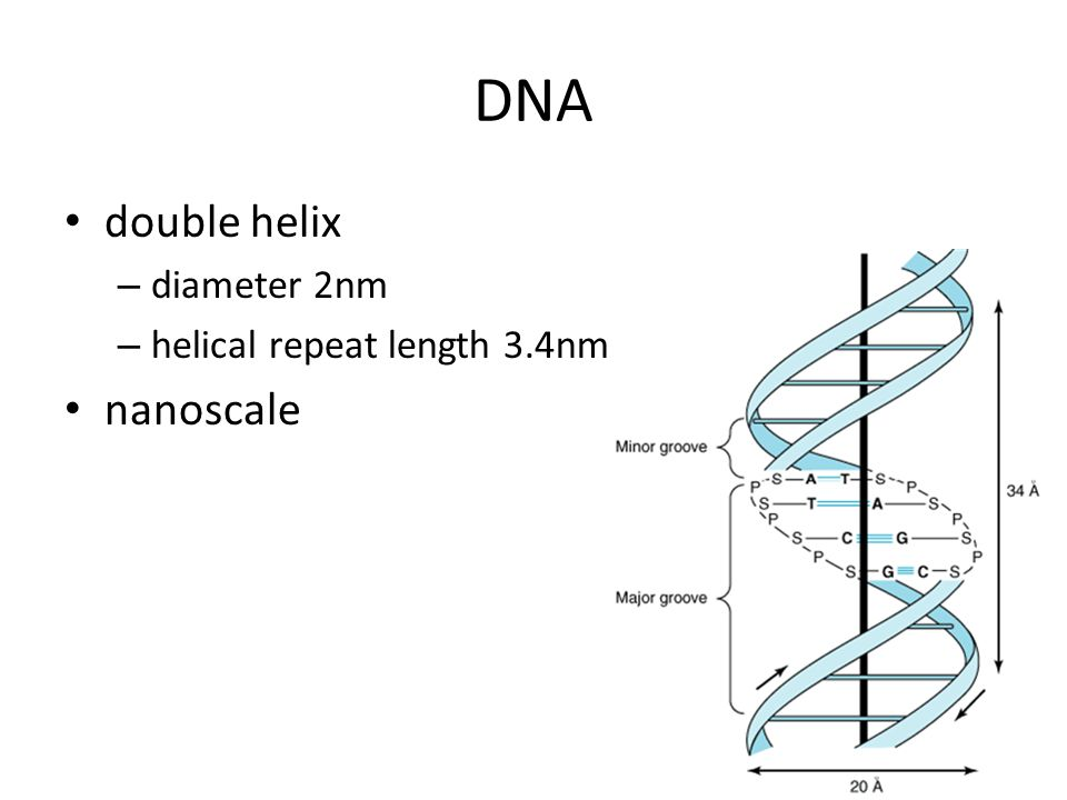 DNA double helix diameter 2nm helical repeat length 3.4nm nanoscale