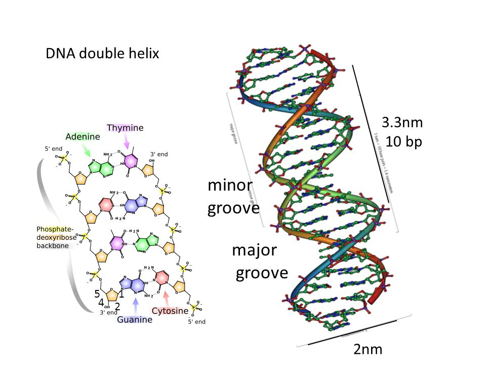 DNA double helix 3.3nm 10 bp minor groove major groove 5 1 4 2 2nm